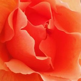 spring rose