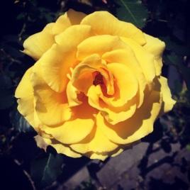 spring rose2